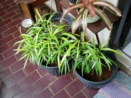 Anda sering diganggu nyamuk saat sedang santai di rumah ? Tak ada salahnya memelihara tanaman anti nyamuk dalam pot. Agar tanaman itu sehat, memancarkan zat yang tak disukai nyamuk, sering-seringlah me-reiki tanaman anti nyamuk agar tumbuh subur di pot.