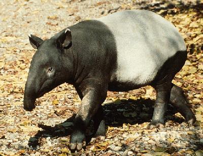 Thread: RIMBA TAPIR ASIA (Tapirus Indicus)
