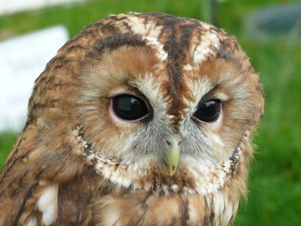 70 Koleksi Gambar Hewan Burung Hantu Gratis