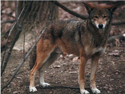 Berburu Serigala