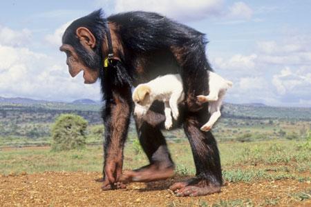 Persahabatan antara anjing dan simpanse yang begitu era