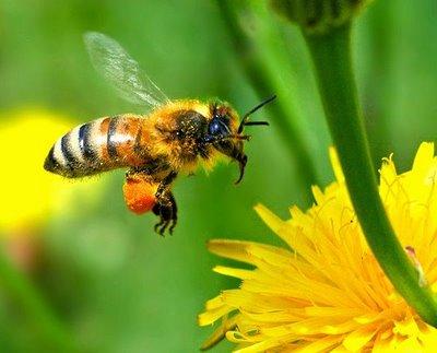 Lebah, Tawon
