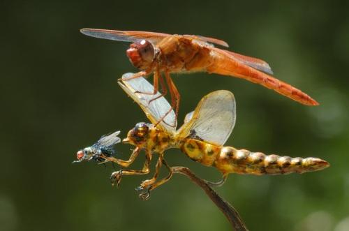 Melihat capung oranye menangkap mangsa, capung blirik lalu merebutnya. Tarikm menarik kedua capung memperebutkan serangga tak bisa dihindari lagi. Capung blirik merebut mangsa dari tangan capung orange dengan ketepatan 97 persen