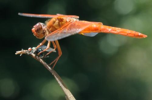 Ujug-ujug capung oranye datang menyergapnya dari arah belakang. Kaki capung yang kuat lantas mencengkeram