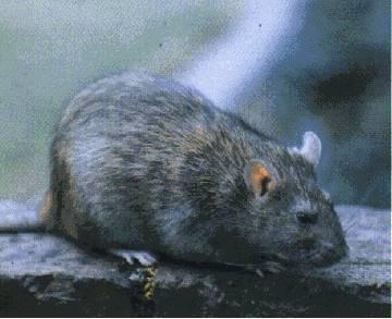 Tikus got sering berkeliaran di selokan kotor warna bulunya hitam, pembawa bakteri leptospira. Ukurannya lebih besar dari tikus loteng.