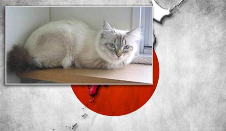 Mir jenis kucing Siberia saat ini telah jadi milik Gubernur Norihisa Satake. Kucing Mir sebagai hadiah pemberian Presiden Rusia Vladimir Putin. Sebagai gantinya, Satake memberikan seekor anak anjing sebagai tanda terima kasih atas bantuan Rusia saat terjadi tsunami dan gempa bumi 2011.