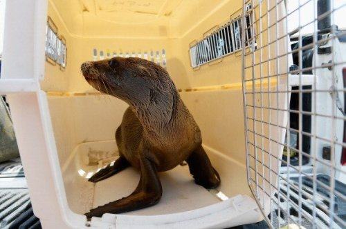 Anak singa laut istirahat di ruang penyimpanan sementara setelah dievakuasi dari jebakan lubang berpasir.