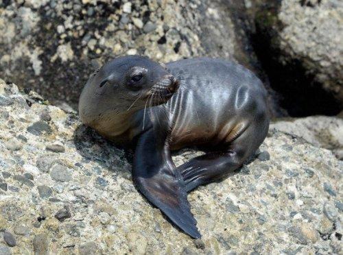 Singa laut dewasa merayap di antara gugusan batu karang pesisir California.