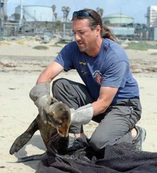 Setelah keluar dari lubang berpasir, anak singa laut ditangkap dan dibersihkan tubuhnya dari serpihan pasir, untuk selanjutnya dibawa ke tempat penangkaran.