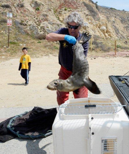 Tidak mudah memegang tubuh anak singa laut yang meronta, karena licin kulit tubuhnya saat tertimpa sinar matahari.