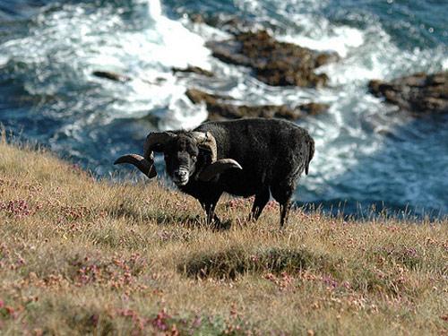 Saat membersihkan rumput sudah usai, saking hausnya domba breton terkadang menuju pinggiran sungai untuk minum.