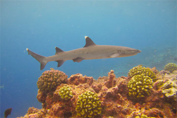 Hiu karang di perairan kawasan lindung Pulau Phoenix. © Randi Rotjan, New England Aquarium.