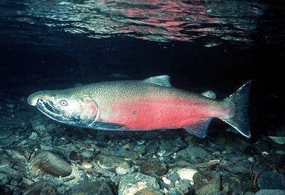 Ikan Salmon, satu dari sekian banyak jenis ikan yang banyak mengandung nilai gizi yang sangat bermanfaat bagi manusia. Jenis ikan ini dapat hidup di perairan tawar dan laut, dan merupakan salah satu komoditi hasil perikanan yang banyak dikonsumsi oleh masyarakat.