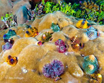 Cacing pohon natal yang berwarna cerah (Spirobranchus spp.) secara halus menyaring makanan dari rumah mereka di koloni karang Porites spp. di Pulau Enderbury. © Jim Stringer.