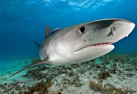 Hiu macan pasir betina berkencan dengan banyak hiu pejantan sehingga dalam rahimnya ada embrio berbeda pejantan.