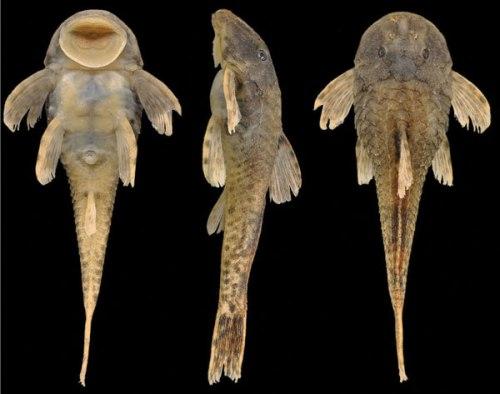 Spesies baru tersebut, diberi nama Pareiorhina hyptiorhachis, masuk ke dalam genus ikan lele lain yang merupakan spesies asli Amerika Selatan dan hanya bisa ditemukan di Brasil.