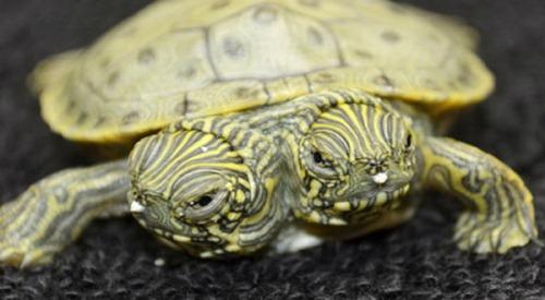 Thelma dan Louise, kura-kura berkepala dua di Kebun Binatang San Antonio AS.