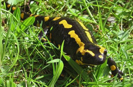 Salamander api atau Fire salamander biasa ditemukan di daerah yang lembab, biasanya di bawah batu, kayu atau permukaan yang tertutupi. Salamander api bertahan hidup  hingga di ketinggian hingga 6,000 kaki.