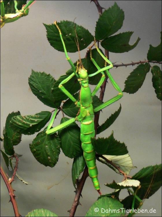 Serangga tongkat hijau raksasa ( diapherodes gigantea )