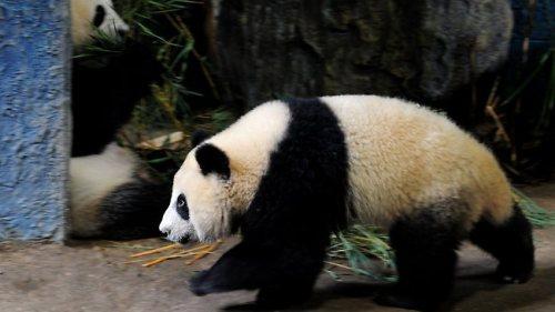 Lin Ping panda saat jelang keberangkatannya ke Negeri Tirai Bambu China, Sabtu ( 29/9 ). Penerbangan Panda Lin Ping disebut sebagai penerbangan cinta. Picture: Pornchai Kittiwongsakul.