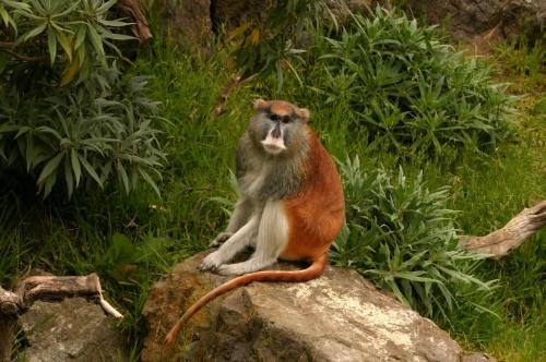 Kera Patas hidup di padang sabana hutan Arika Tengah.