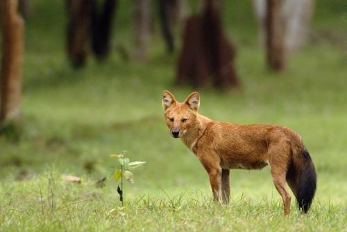 Ajag alias anjing hutan rakus akan makanan unggas, rusa, ular, rubah, tikus, kelinci, burung, katak serangga. Ia juga makan buah, sayur dan sampah. Anjing hutan ( Canis latrans ) rata-rata berbobot antara 7,5 kg dan 9,3 kg.