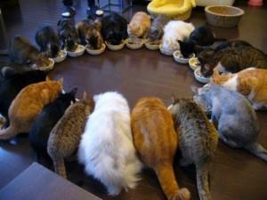 Kucing liar piaraan Mamozu sedang menikmati daging ayam dan ikan di rumahnya.