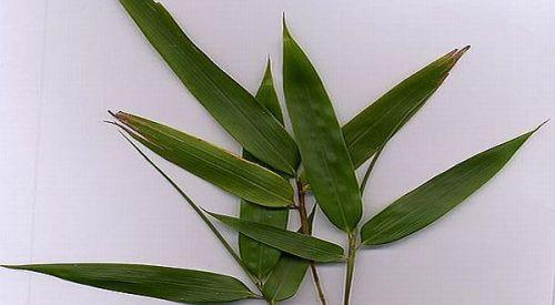 Indonesia yang terletak di Khatulistiwa, banyak dijumpai pohon bambu. Mulai dari batangnya, bonggol muda hingga daunnya bisa dimanfaatkan untuk berbagai keperluan. Saat ini daun bambu muda bisa diolah menjadi keripik daun bambu muda yang renyah bercita rasa kriuk.