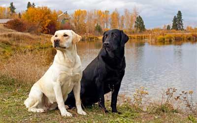 Sebagai salah satu anjing paling populer di Amerika, anjing Labrador retriever memiliki sifat setia, penuh kasih sayang dan sabar, membuatnya sangat cocok sebagai anjing keluarga.
