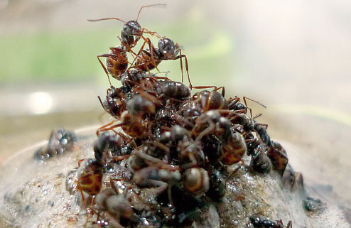 Saat ada genangan air, semut pekerja menggunakan remah-remah roti sebagai rakit untuk menyelamatkan ratu semut dari tenggelam.