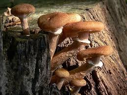 Armillaria si jamur raksasa berwarna keemasan di habitat aslinya.