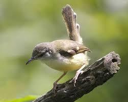 Burung pipit leher putih saat bermigrasi, menyesuaikan diri dengan lingkungan barunya.