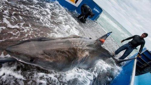 Para peneliti menggunakan platform hidrolik untuk menandai hiu aman - termasuk Lydia (foto)