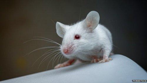 Dalam studi yang dipublikasikan di Nature Medicine, tikus berusia 18 bulan diberi suntikan bagian cairan darah (plasma) yang diambil dari tikus berusia tiga bulan.