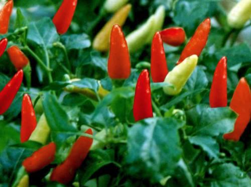 Cabe rawit kecil bentuknya akan tetapi pedas sekali rasanya jika dibuat sambal untuk penambah lezatnya masakan. Konon, cabe rawit juga bisa dijadikan obat herbal atasi ambein.