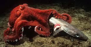 Gurita Pasifik ibu penyayang anak, akan memangsa bagi predator laut dalam yang ingin mengganggu telur anak-anaknya.