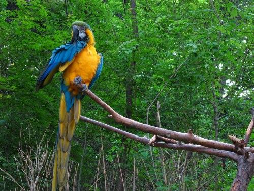 Si cantik nuri Amazone alias di keheningan pagi hutan lebat Amazone.