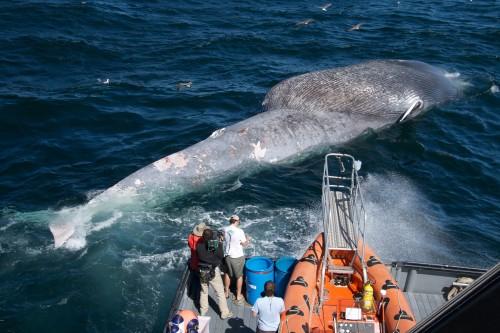 Paus biru terkadang melintas menyalip laju kapal.
