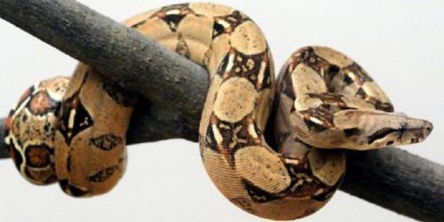 ular juga takut jatuh. Manakala seekor ular menjalar ke sebatang pohon, ular tersebut akan membelit batang pohon tersebut lima kali lebih kencang, demikian temuan sebuah kajian di Amerika Serikat.