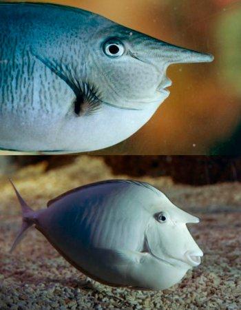 """Ikan aneh yang disebut juga """"unicorn fish"""" ini diberi nama Nimrod. Tonjolan menyerupai hidung itu sebenarnya tanduk yang bisa muncul di tempat berbeda pada hewan."""