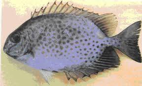 Siganidae juga disebut rabbitfish yang berarti ikan kelinci karena moncongnya memang menyerupai kepala kelinci. Duri-duri pada ikan beronang mengandung racun.