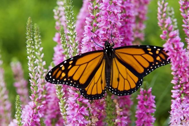 Setiap tahunnya, kupu-kupu ini dapat bermigrasi dari wilayah Kanada ke Meksiko yang berjarak tempuh 4.500 km dengan jarak tempuh 80 km per hari. Populasi kupu-kupu ini akan tiba di Meksiko pada awal November dan tinggal di daerah hutan cemara Michoacan hingga bulan Februari.
