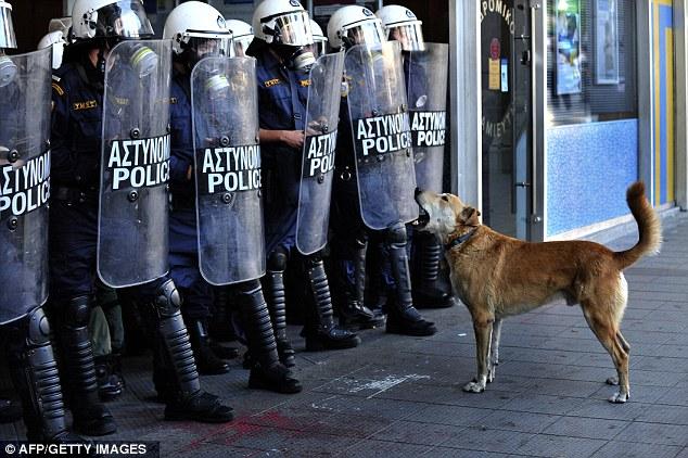 Menggangguku polisi : Loukanikos anjing liar telah menjadi sensasi internet setelah tabah mengambil bagian dalam protes anti - penghematan di Athena , Yunani