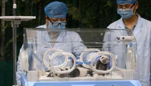Begitu lahir bayi panda kembar tiga langsung ditempatkan di mesin inkubator.