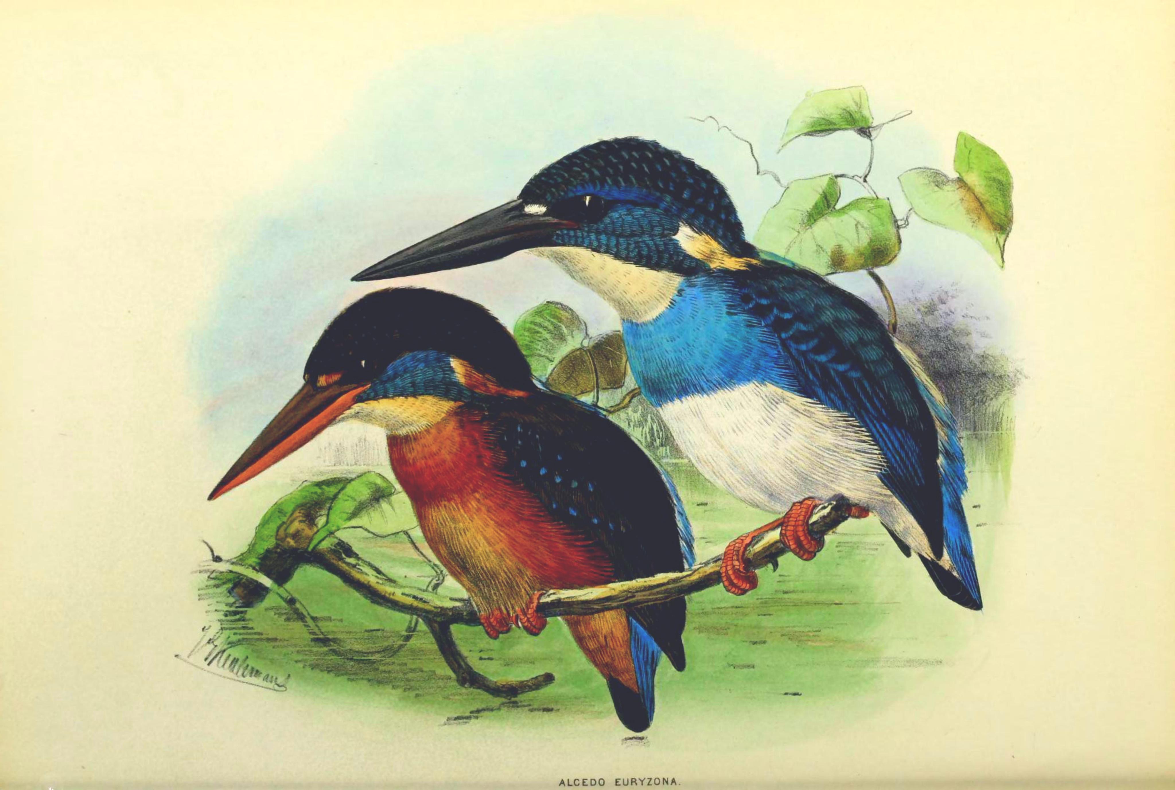 Burung Pekakak Jawa alias Kingfisher alias Alcedo euryzona.