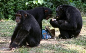 Koloni simpanse di habitatnya. Mereka berkomunikasi dengan bahasa isyarat.