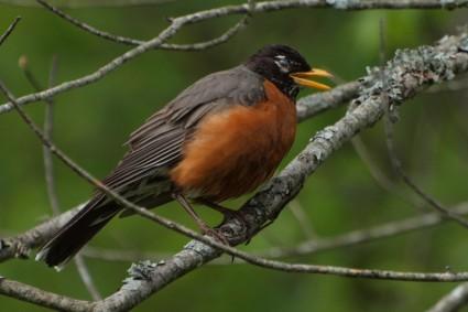 American Robin Bird.