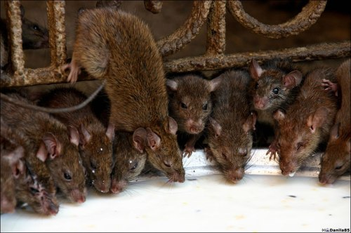 Sebenarnya, populasi tikus kota mungkin lebih dekat dengan 2 juta, kata Jonathan Auerbach, seorang mahasiswa doktoral Columbia yang menulis sebuah esai tentang masalah diterbitkan di majalah Signifikansi.