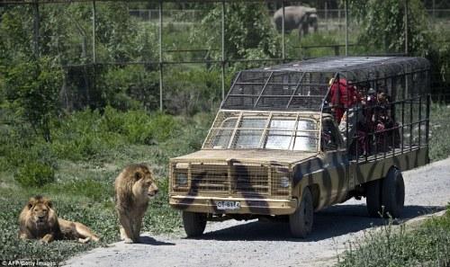 Uji nyali berkawan dengan singa di taman safari