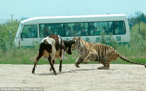 Ustin harimau Siberia sebagai tertuduh yang menyantap kambing sebagai menu makan siang.